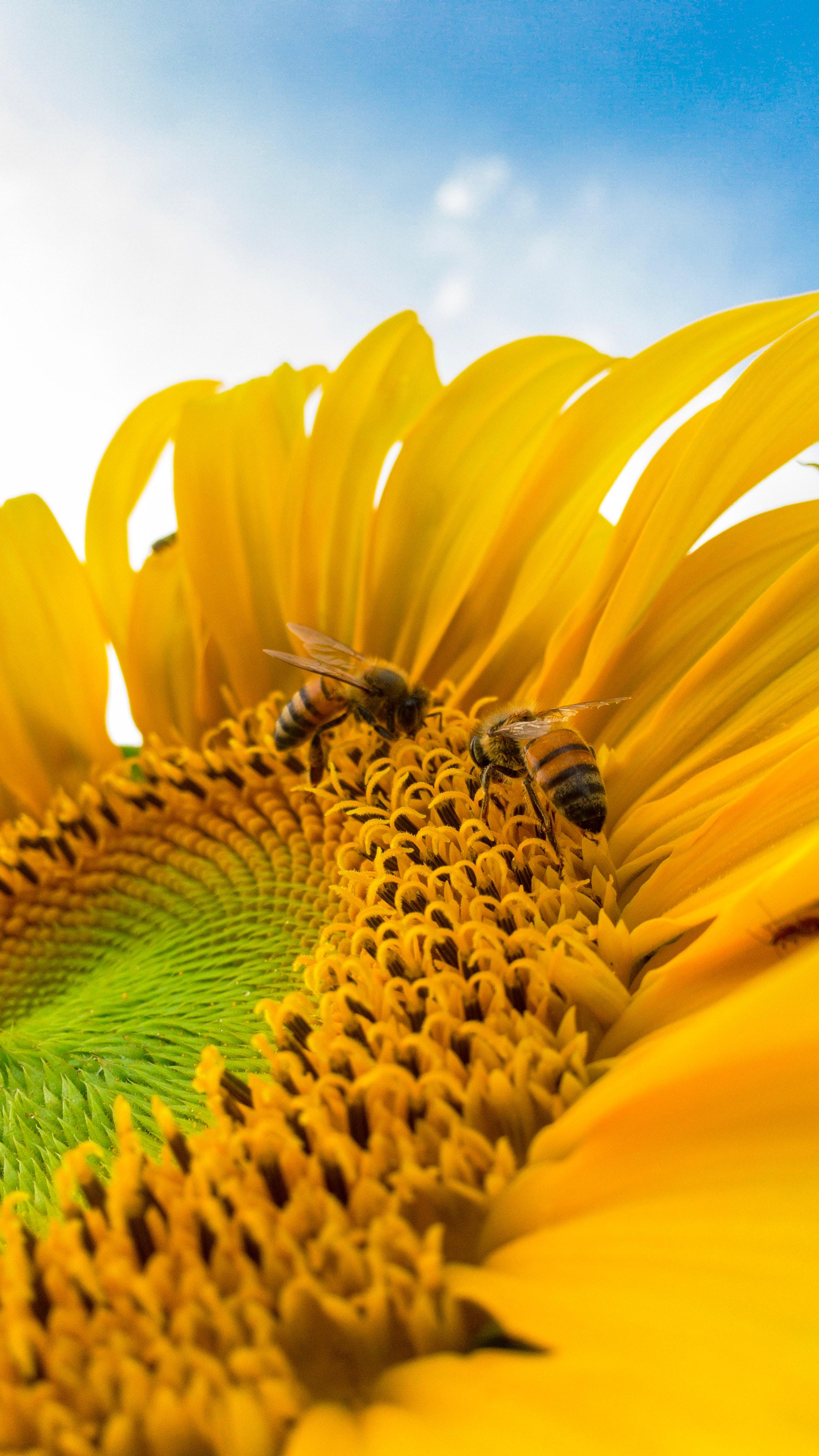 close up Sunflower.jpg